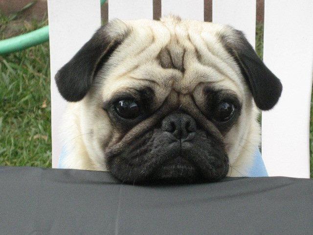Pug Breed Pugminded