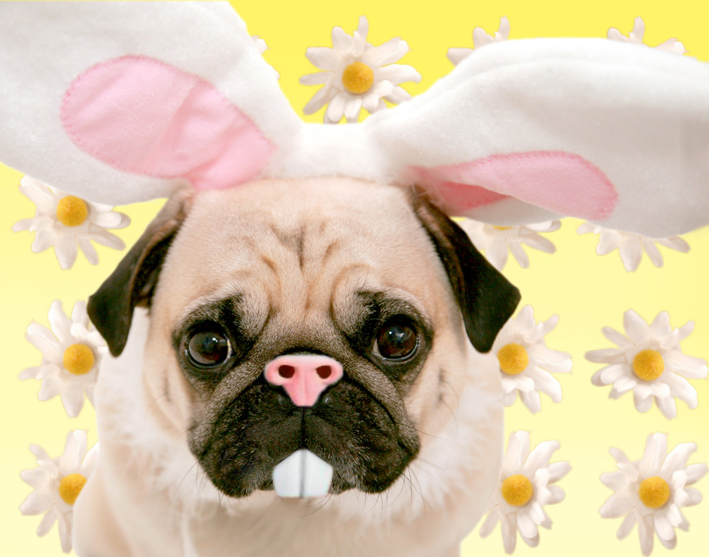 Easter Pug Pictures 6