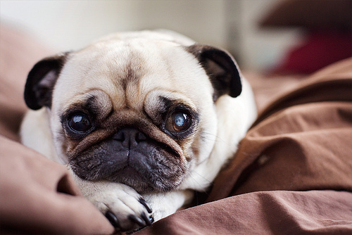 cute-eyes-pug-puppy-Favim.com-300721