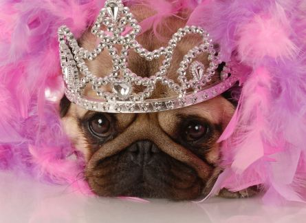 Fotolia Queen pug jpeg